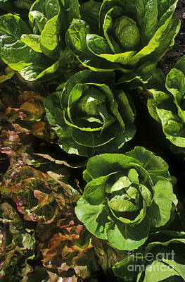 Photograph - Organic Lettuce by Craig Lovell