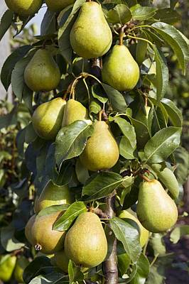 Pyrus Communis Photograph - Organic Pears by Science Photo Library