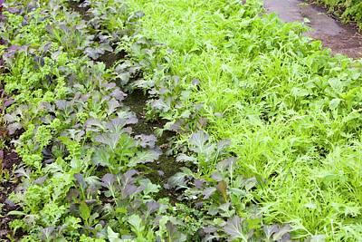 Organic Salad Crops Art Print