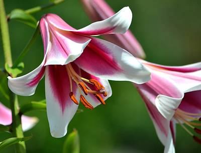 Photograph - Orienpet Lilies by Deena Stoddard