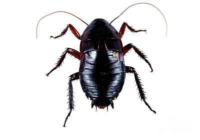 Oriental Cockroach Art Print
