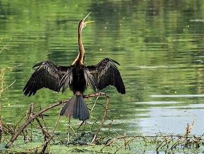 Anhinga Wall Art - Photograph - Oriental Darter Calling by K Jayaram/science Photo Library