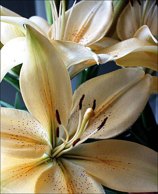 Photograph - Oriental Lilly by Jeff Brunton