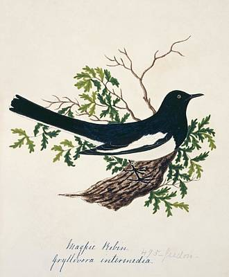 Magpies Wall Art - Photograph - Oriental Magpie-robin by Natural History Museum, London/science Photo Library
