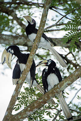 Hornbill Wall Art - Photograph - Oriental Pied Hornbills by Scubazoo/science Photo Library