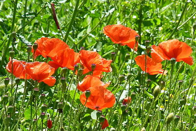 Poppies Photograph - Oriental Poppies by Carla Parris