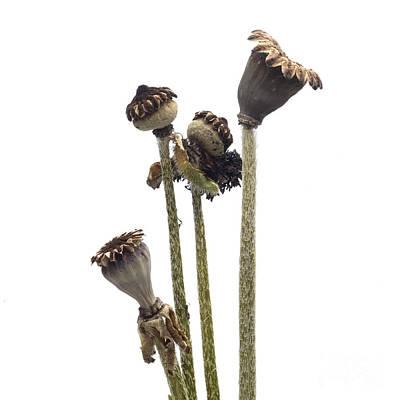 Cut Out Photograph - Oriental Poppy by Bernard Jaubert