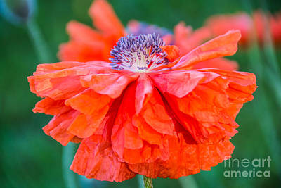 Photograph - Oriental Poppy by Cheryl Baxter