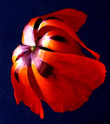 Photograph - Oriental Poppy I by Michael Moschogianis