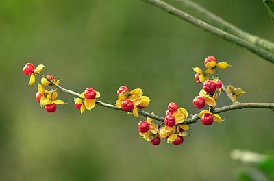 Bittersweet Photograph - Oriental Staff Vine Fruit by Science Photo Library