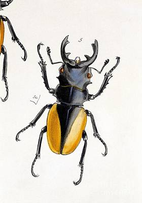 Oriental Stag Beetle, 19th Century Art Print by Natural History Museum, London