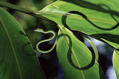Oriental Whip Snake Ahaetulla Prasina Art Print by Michael and Patricia Fogden