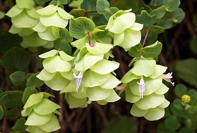 Origanum Rotundifolium In Flower Art Print