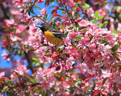Photograph - Oriole In Apple Tree by John Burk