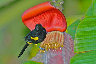 Photograph - Oriole In Banana Flower by Alan Lenk