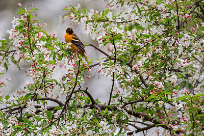 Oriole Photograph - Oriole In Crabapple Tree by Bill Wakeley