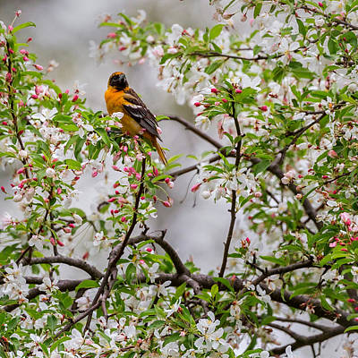 Birds With Flowers Photograph - Oriole In Crabapple Tree Square by Bill Wakeley
