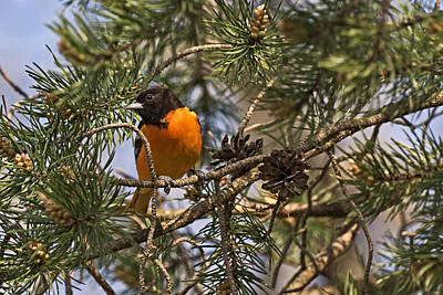 Photograph - Oriole In The Pines by Theo OConnor