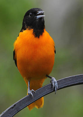 Photograph - Oriole by John Kunze