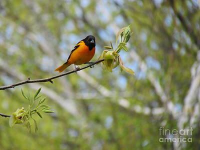 Bird On A Stem Photograph - Oriole by Randi Shenkman