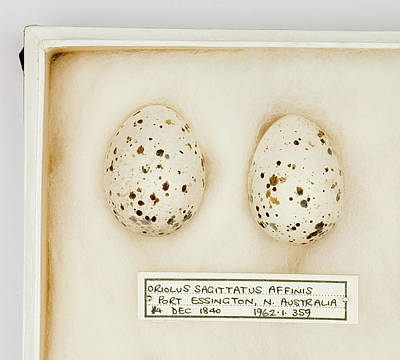 Gilbert Photograph - Oriolus Sagittatus Affinis Eggs by Natural History Museum, London