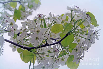 Photograph - Ornamental Blooming Pear Tree by Kay Novy