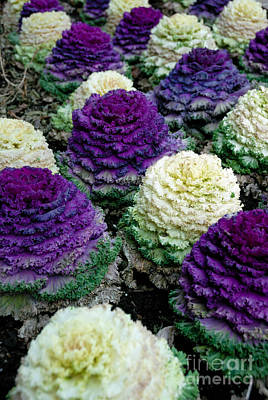 Cabbage Photograph - Ornamental Cabbage by Amy Cicconi