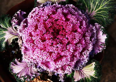 Ornamental Cabbage Plant Art Print