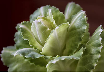 Photograph - Ornamental Cabbage by Shirley Mitchell