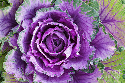 Cabbage Photograph - Ornamental Cabbage by Tim Gainey