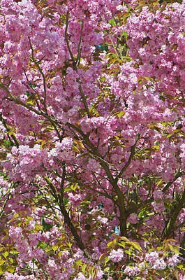 Photograph - Ornamental Cherry Tree by Sharon Talson