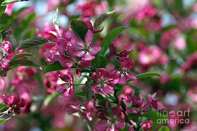 Photograph - Ornamental Crabapple Blossoms by Sharon Talson