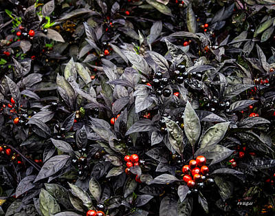 Photograph - Ornamental Pepper 'black Pearl' by Allen Sheffield