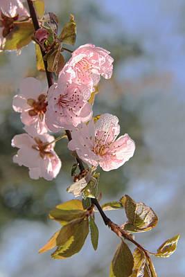Ornamental Plum Tree Pink Flower Blossoms Art Print by Jennie Marie Schell
