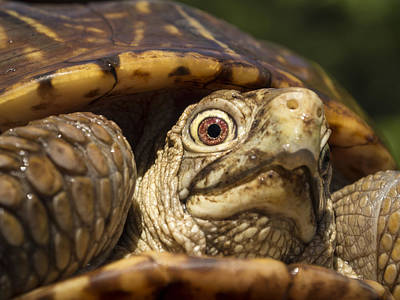 Photograph - Ornate Box Turtle Close Up by Jean Noren