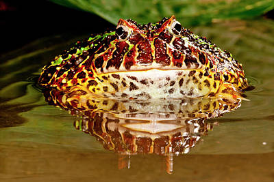 Anuran Photograph - Ornate Horn Frog, Ceratophrys Ornata by David Northcott