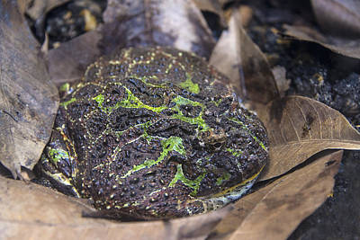 Photograph - Ornate Horned Frog by Mark Newman