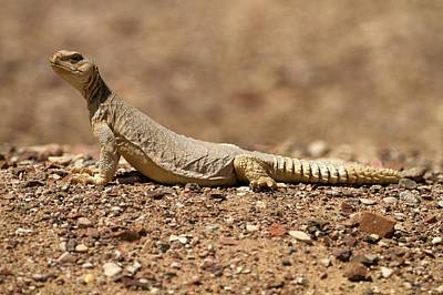 Agama Photograph - Ornate Mastigure (uromastyx Ornata) by Photostock-israel