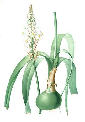 Onion Drawing - Ornithogalum Longibracteatum, Ornithogale à  Longues by Artokoloro