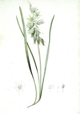 Ornithogalum Nutans, Ornithogale Penché Drooping Star Art Print