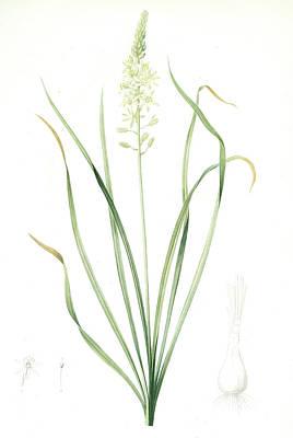 Ornithogalum Pyrenaicum, Ornithogale Ds Pyrénées Art Print by Artokoloro