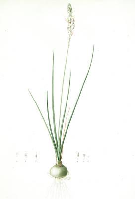 Ornithogalum Tenuifolium, Ornithogalum Graminifolium Art Print by Artokoloro
