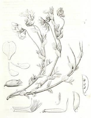 Stamen Drawing - Orobus Littoralis, 1. Vexillum, Wing, And A Keel Petal, 2 by Artokoloro