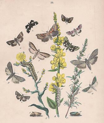 Lettuce Drawing - Orthosdiae - Cleophanidae - Cucullidae - Heliothidae - Anartidae - Acontidae by W Kirby