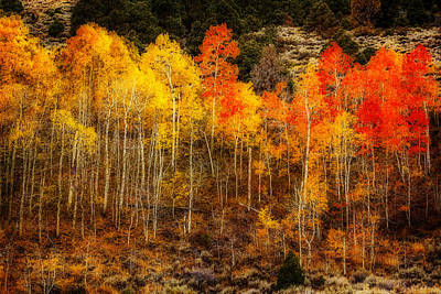 Photograph - Orton Aspen Grove by Wes and Dotty Weber