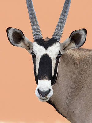 Photograph - Oryx Portrait Namibia by Alexander Koenders