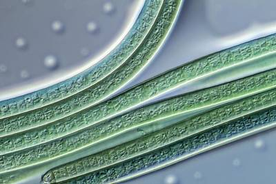 Unicellular Photograph - Oscillatoria Alga Filaments by Gerd Guenther
