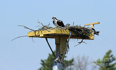 Photograph - Osprey 2 by Butch Lombardi