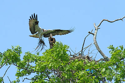 Photograph - Osprey 3 by Butch Lombardi