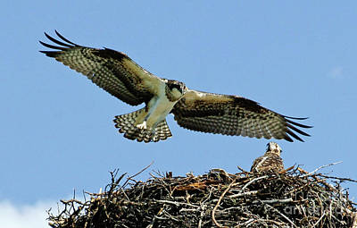 Photograph - Osprey 4 by Bob Christopher